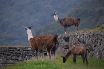 Lama tra le rovine di Machu Picchu